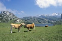Vaches broutant à Lago De La Ercina — Photo de stock