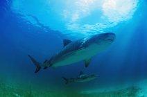 Tiger Sharks swimming — Stock Photo