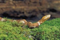 Southern Copperhead Snake — Stock Photo