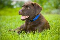 Labrador retriever welpen — Stockfoto