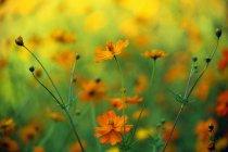 Coreopsis flores en flor - foto de stock