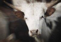 Корова, дивлячись на камеру — стокове фото