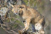 Bobcat standing on Tree — Stock Photo