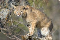 Bobcat standing on Tree — Fotografia de Stock