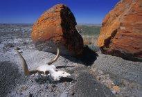 Cow Skull And Large Boulder In Desert — Stock Photo