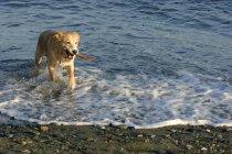 Собака получает держа палку — стоковое фото