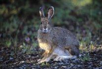 Сидя на снегоступах заяц — стоковое фото
