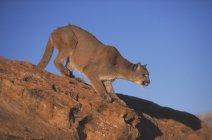 Lion de montagne prépare à sauter — Photo de stock