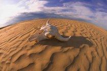 Буффало череп на піску — стокове фото
