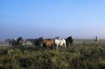 Manada de caballos y vaquero - foto de stock
