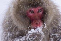 Snow Monkey Eating Snow — Stock Photo