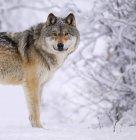 Самотній вовк стоїть на снігу — стокове фото