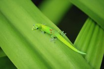 Green Gecko on leaf — Stock Photo