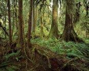 Colonades Of Rainforest Trees — Stock Photo