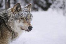 Wolf im Schnee wegschauen — Stockfoto