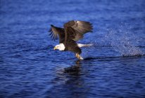 Bald Eagle Catching A Fish — Stock Photo