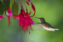 Colibri volant à proximité de fleur — Photo de stock