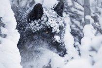 Einsamer Wolf im Schnee — Stockfoto