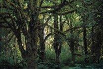 Товсті кленів Grove — стокове фото