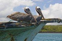 Deux pélicans sur le bateau — Photo de stock