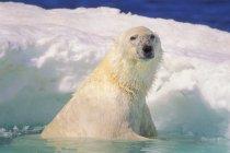 Urso polar no gelo piscina — Fotografia de Stock