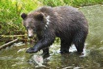 Pesce di cattura dell'orso grigio Cub — Foto stock