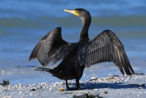 Double-Crested Cormorant — Stock Photo