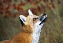 Red Fox looking upwards — Stock Photo
