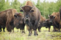Herd Of Bison standing on green grass — Stock Photo