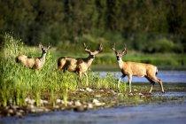 Three Deer standing — Stock Photo