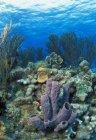 Azure Tube Sponge — Stock Photo