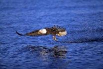 Pygargue à tête blanche capture de poissons — Photo de stock