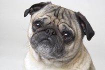 Мопс собаки, глядя на камеру — стоковое фото