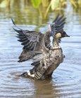 Гавайська гусака після купання — стокове фото