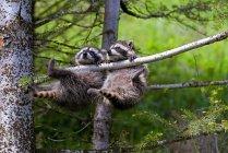 Baby Waschbären hängen — Stockfoto
