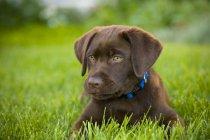 Labrador Retriever deitada ao ar livre — Fotografia de Stock