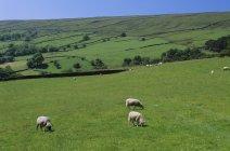 Pecore nello Yorkshire Dales — Foto stock