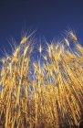 Grain Against Sky — Stock Photo