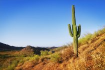 Самотній кактус в пустелі — стокове фото