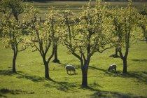 Ovelhas pastando na grama verde — Fotografia de Stock