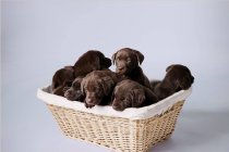 Puppies In straw Basket — Stock Photo