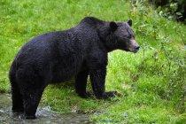 Черный медведь на траве — стоковое фото