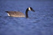 Bernache du Canada se nourrissant dans l'étang — Photo de stock