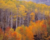 Trembles automne coloré — Photo de stock