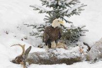 Лисий орел на видобуток — стокове фото