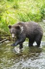 Grizzly Cub Catching Fish — Stock Photo
