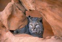 Bobcat nella formazione di arenaria — Foto stock