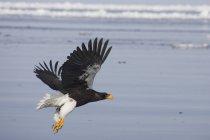 Белоплечего орлана — стоковое фото