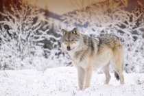 Одинокий волк в лесу снег зимой — стоковое фото