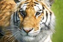 Closeup Of Tiger Face — Stock Photo